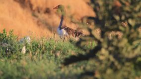 Domowe gąski przy zmierzchem jedzą trawy na pięknym polu zbiory