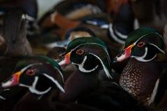 domowe kaczki Zdjęcie Stock