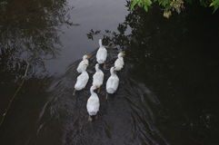 Domowe kaczki pływa w stojących wodach Obraz Royalty Free