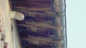 Domowe oknówki karmi ich potomstwa zdjęcie wideo