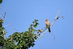 Domowego Finch Carpodacus mexicanus umieszczał w drzewie zdjęcie royalty free