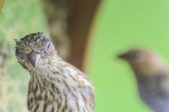 Domowego Finch oka choroba obrazy royalty free