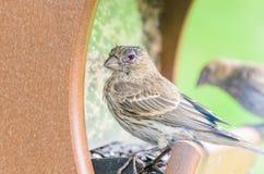Domowego Finch oka choroba zdjęcie royalty free