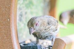 Domowego Finch oka choroba obrazy stock