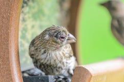 Domowego Finch oka choroba obraz stock