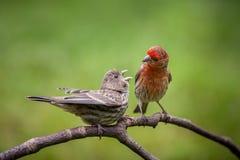 Domowego Finch para Zdjęcie Stock