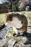 Domowego kota oblizania łapa fotografia stock