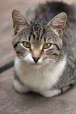 Domowego kota portret fotografia royalty free