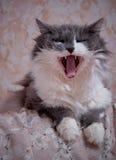 Domowego kota poziewania Fotografia Royalty Free