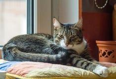 Domowego kota trzy lat imię William fotografia royalty free