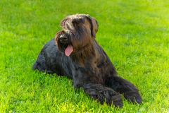 Domowego psa czerni Gigantycznego Schnauzer traken Fotografia Stock