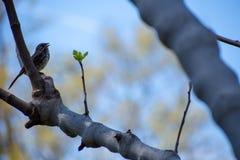 Domowego wróbla śpiew na drzewie zdjęcia stock