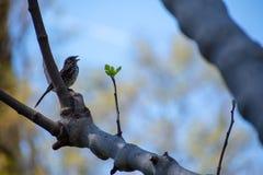 Domowego wróbla śpiew na drzewie zdjęcie stock