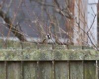Domowego wróbla obsiadanie na ogrodzeniu Zdjęcia Stock