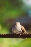 Domowego wróbla przechodnia Domesticus ptak Na ogrodzeniu Zdjęcia Stock