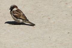 Domowego wróbla ptasi obsiadanie wygrzewa się w słońcu Fotografia Stock