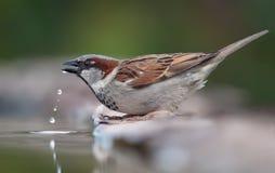 Domowego wróbla woda pitna z spadać kroplami obraz stock