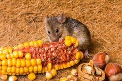 Domowej myszy łasowania kukurudza (Mus musculus) Obraz Royalty Free