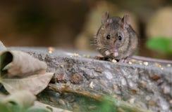 Domowej myszy łasowanie Opuszczający Birdseed fotografia stock