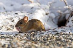 Domowej myszy łasowania ziarna (Mus musculus) Obrazy Royalty Free