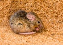 Domowej myszy cleaning (Mus musculus) Fotografia Royalty Free