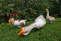 Domowej roboty gąski na tle zielona trawa Zdjęcia Royalty Free