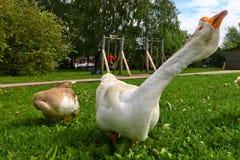 Domowej roboty gąski na tle zielona trawa Zdjęcie Royalty Free