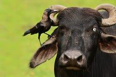 Domowej wrony, Corvus splendens, czerń i popielaty ptasi obsiadanie na owłosionej głowie krowa, jasnego zielony tło, Yala park na fotografia royalty free