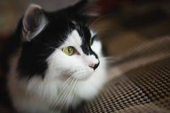 Domowi kotów spojrzenia przy kamerą Fotografia Stock