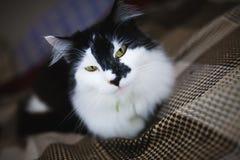 Domowi kotów spojrzenia przy kamerą Zdjęcie Stock