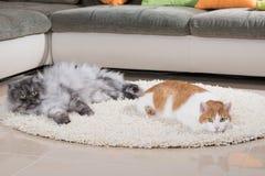 Domowi koty w żywym pokoju zdjęcie royalty free