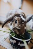 Domowi króliki Obrazy Royalty Free