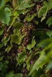 domowi ogrodowi winogrona Zdjęcia Royalty Free