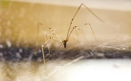 Domowi pająka Pholcus phalangioides 2 obraz stock