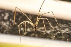 Domowi pająka Pholcus phalangioides 4 obraz stock