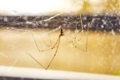 Domowi pająka Pholcus phalangioides 3 obrazy stock
