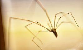 Domowi pająka Pholcus phalangioides 7 zdjęcia royalty free