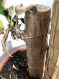Domowi roślina bagażniki z zielonymi liśćmi zdjęcia stock