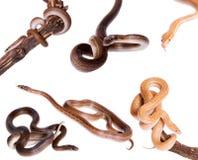 Domowi węże ustawiający na bielu obraz stock