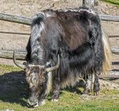 Domowi yak Zdjęcia Stock