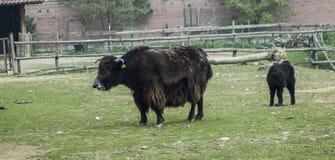 Domowi yak Zdjęcie Stock