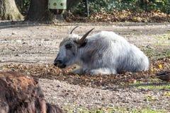 Domowi Yak, Bos mutus grunniens w zoo zdjęcie stock
