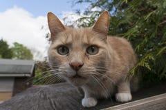 Domowy cat Fotografia Royalty Free