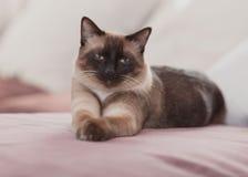 Domowy cat Zdjęcie Stock