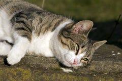 Domowy cat Obraz Royalty Free