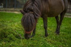 Domowy Czarny konik w gospodarstwie rolnym fotografia stock