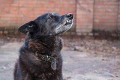 domowy czarny pies Fotografia Stock