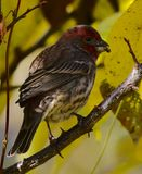 Domowy Finch obrazy royalty free