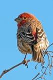 Domowy Finch fotografia royalty free
