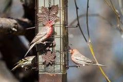 Domowy Finch, Carpodacus mexicanus Obrazy Royalty Free